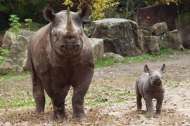 Pomozte ZOO Dvůr Králové s přesunem dalšího nosorožce do Afriky