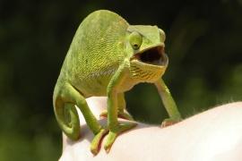 takových novinek.. i chameleon je překvapen