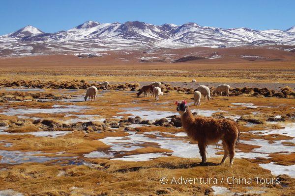 Lamy na Altiplanu