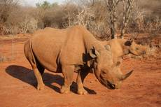 Zawadi - nosorožec dvourohý v rezervaci Mkomazi v Tanzanii