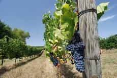 Vinohrady na dosah ruky