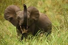 NP Loango, jedineční pralesní sloni.