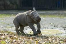 Eliška - samička nosorožce černého (dvourohého)