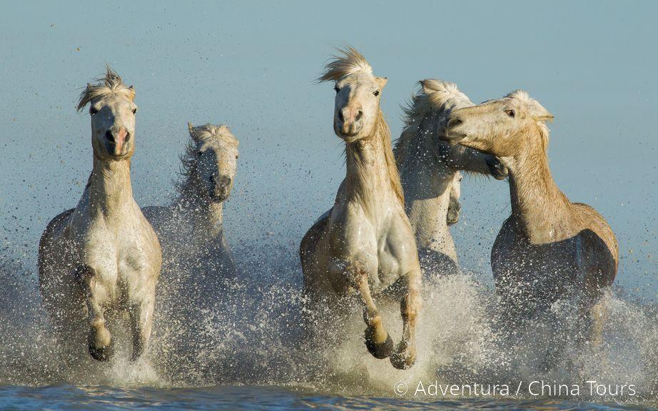 Divocí koně v NP Camargue