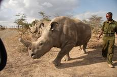 Samice severního bílého nosorožce v rezervaci Ol Pejeta v Laikipii v Keni