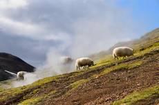 Islandské ovce u fumarol