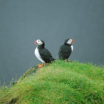 Papuchálci v Dyrhólaey, Island