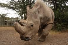 Sudán - poslední žijící samec severního bílého nosorožce v rezervaci Ol Pejeta v Laikipii v Keni